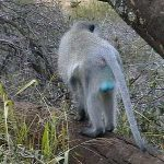 Rear view of a male Vervet monkey showing off his blue testicles