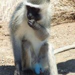 Male Vervet monkey with blue testicles eats a fruit