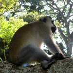 Male Vervet monkey with blue testicles sits astride a branch