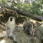 Male Vervet monkey with blue testicles accompanied by his harem