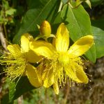 Healthy Beauty - St John's Wort in Blossom