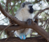 Male Vervet monkey with blue testicles clinging to a branch