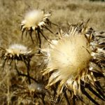 milk thistles caught at the end of their lives